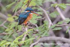 Common Kingfisher (Alcedo atthis taprobana), female DSD_5299 (fotosynthesys) Tags: commonkingfisher alcedoatthistaprobana alcedoatthis kingfisher alcedinidae bird srilanka