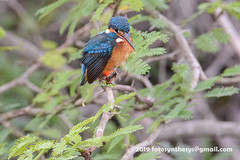 Common Kingfisher (Alcedo atthis taprobana), female DSD_5295 (fotosynthesys) Tags: commonkingfisher alcedoatthistaprobana alcedoatthis kingfisher alcedinidae bird srilanka