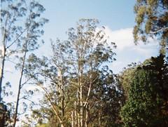 Tall trees (Matthew Paul Argall) Tags: revuepocket10 fixedfocus 110 110film subminiaturefilm lomographyfilm 200isofilm plasticlens tree trees plant plants