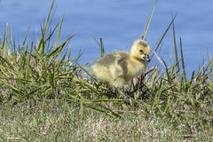 Gosling (Peter Stahl Photography) Tags: canadageese goslings geese goose