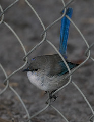 Turning Blue (SteveKPhotography) Tags: stevekphotography sony alpha a99ii ilca99m2 sal70400g2 avian animal bird fence fauna nature native splendidfairywren malurussplendens westernaustralia
