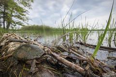 Stinkpot (Nick Scobel) Tags: eastern common musk turtle sternotherus ordoratus michigan scenic wide angle habitat