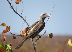 (female) African Grey Hornbill / Grey Hornbill /  Grysneushoringvoël (wyfie) (Pixi2011) Tags: birds krugernationalpark southafrica africa nature