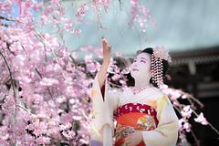 Maiko_20190409_121_7 (Maiko & Geiko) Tags: 20190409 myokenji temple kanohisa kyoto maiko 舞妓 妙顕寺 叶久 京都 叶家 kanoya ksumika