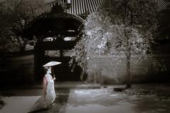 Maiko_20190409_121_12 (Maiko & Geiko) Tags: 20190409 myokenji temple kanohisa kyoto maiko 舞妓 妙顕寺 叶久 京都 叶家 kanoya ksumika