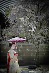 Maiko_20190409_121_14 (Maiko & Geiko) Tags: 20190409 myokenji temple kanohisa kyoto maiko 舞妓 妙顕寺 叶久 京都 叶家 kanoya ksumika