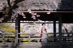 Maiko_20190409_121_16 (Maiko & Geiko) Tags: 20190409 myokenji temple kanohisa kyoto maiko 舞妓 妙顕寺 叶久 京都 叶家 kanoya ksumika