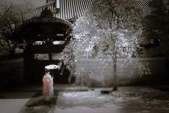 Maiko_20190409_121_20 (Maiko & Geiko) Tags: 20190409 myokenji temple kanohisa kyoto maiko 舞妓 妙顕寺 叶久 京都 叶家 kanoya ksumika