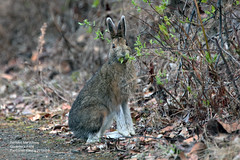 Snowshoe Hare_4H4A9056 (bud_marschner) Tags: snowshoe hare creamersfield fairbanksalaska