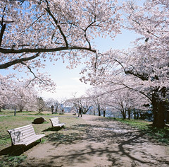 0923-12 (karl0513) Tags: film filmphotography filmisnotdead sakura japan 120film mamiya6mf