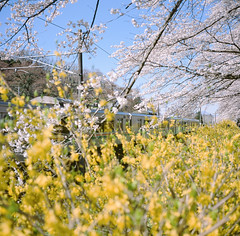 0921-04 (karl0513) Tags: film filmphotography filmisnotdead sakura japan 120film mamiya6mf