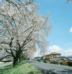 1198-10 (karl0513) Tags: film filmphotography filmisnotdead sakura japan 120film mamiya6mf