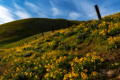 The Hills are Alive... (TierraCosmos) Tags: columbiahills dallesmountainranch hills wildflowers yellow balsamroot lupine flowers fence barbedwirefence sky clouds wind windy washington columbiariver