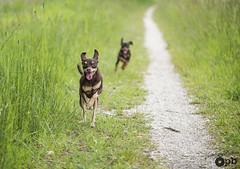2 chiens dans la course (Philippe Bélaz) Tags: nestor ooligan ratierdeprague balades brun chemins chiens chocolat courir joyeux langues printemps promenade vert
