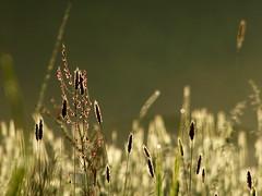 Morgens in der Wiese (isajachevalier) Tags: wiese gras pflanze licht landschaft natur garten panasonicdmcfz150