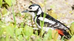 Большой пёстрый дятел в траве (Yuriy Kuzmenok) Tags: птицы птица природа дятел большойпестрыйдятел
