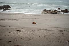 Montezuma (Ivan Herrador) Tags: micronikkor60mmf28 d3 beach dog nikkor primelens montezuma costarica bird