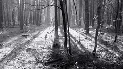 IMG_0583 (ALEKSANDR RYBAK) Tags: утро лес деревья трава ветки солнечный свет тени дымка весна сезон погода природа листва пейзаж landscape morning forest trees grass branches solar shine shadows haze spring season weather nature foliage