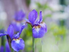 Japanese iris (Christine_S.) Tags: ayame irissanguinea flower japan olympus omd 45mm garden nature flowers bokeh purple mirrorless アヤメ