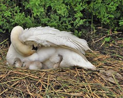 Yesss they are born (wilma HW61) Tags: zwaan swan cigno cygne kuikens chicks dier animal animale watervogel waterbird uccelloacquatico oiseaudeau natuur nature natur naturaleza nederland niederlande netherlands nikond90 holland holanda paysbas paesibassi paísesbajos europa europe voorjaar lente spring primavera printemps frühling wilmahw61 wilmawesterhoud giovani lesjeunes youngsters jongeren