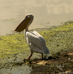 Pelican (tiago_moreira23) Tags: kenya amboseli national park safari canon tamron 70300 nature free animals trip old camera good photos pelican 7d