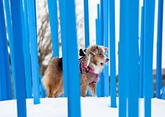Laika Between Blue Stakes, Montreal, Canada (ynaka29) Tags: laika dog aussie toyaussie australianshepherd toyaustralianshepherd redmerle montreal canada snow