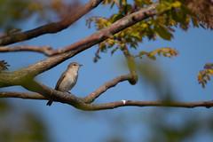 Tuinfluiter | Garden warbler (mathijsdekoning) Tags: tuinfluiter 2019 netherlands nederland zuidholland gardenwarbler garden tree trees green 600mm canon sigma 1300d close eye bir birds brown blue sky