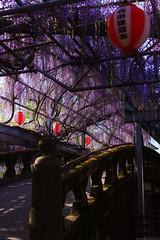 20190418_f06 : 定番の橋 (G-TAKI) Tags: japan fukuoka yanagawa 日本 福岡 柳川 nakayamanooofuji 中山の大藤 flower garden wisteria フジ 藤
