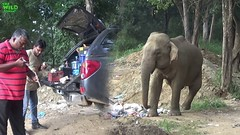 Vaccinations for an elephant who is addicted to trash. This one eats garbage all day (THE WILD ELEPHANT) Tags: huge elephant rescue video youtube quite baby funny kids videos the wild wildlife news tv