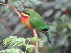 Little Birds in Kibale Forest (Give-on) Tags: africa uganda fortportal kibaleforest bird colorful beautiful wildlife nature tree