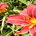 brick-colored day lily, ours, showing anthers