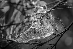 Spiderweb (Lea Ruiz Donoso) Tags: hbw bokeh wednesday monochrome bw monocromático sony araneae spider spiderwebs