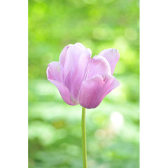 tulip (AlexEdg) Tags: alexedg alledges 2019 flower tulip bokeh dof