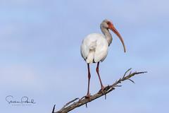 White Ibis (Stephen J Pollard (Loud Music Lover of Nature)) Tags: whiteibis ibisblanco bird ave shorebird aveplayera eudocimusalbus