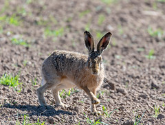 Startled Brown Hare. (Steve (Hooky) Waddingham) Tags: animal hare nature wild wildlife brown countryside