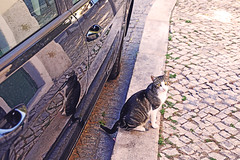 Obrigato (kirstiecat) Tags: obrigado obrigato gato gata reflection cat feline kitty chat streetcat canon lisbon lisboa portugal caturday animal