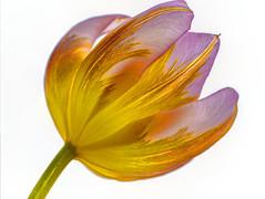 I FIORI COME LI VEDO IO.... (FRANCO600D) Tags: tulipano flower fiore petali petals olanda festivaldeitulipani calice natura macro canon eos6dmarkii 6dmarkii canoneos6dmarkii canon6dmarkii franco600d