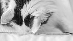 Looking for the toy (Mona_Oslo) Tags: harrythecat pet cat blackandwhite monochrome 16x9 bw inndoor animal monajohansson