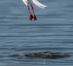 Lovely legs :-) (m&em2009) Tags: red legs bird water droplets nikon d810 tamron 150600mm fauna seagul
