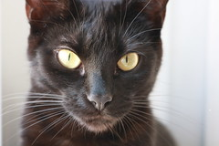 La duchesse (bateauxdefumee) Tags: cat chat animal animals black cute arya sansa youg france