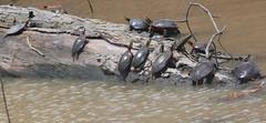 Turtles of Ten (peterkelly) Tags: digital canon 6d northamerica wheatley pierroad ontario canada paintedturtle turtles turtle log creek water spring