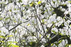 White Flower Tree (Coquine!) Tags: christianleyk london batterseapark battersea england greatbritain trees baum unitedkingdom spring flower primavera bloom blossom blüte frühling white weiss