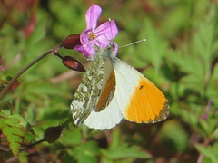 Orange Tip Beauty (river crane sanctuary) Tags: orangetip butterfly rivercranesanctuary wildlife nature