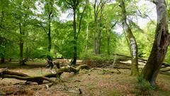 New Forest NP, Hampshire, UK (east med wanderer) Tags: england uk hampshire lyndhurst newforestnationalpark nationalpark forest woodland oak beech markashwood spring