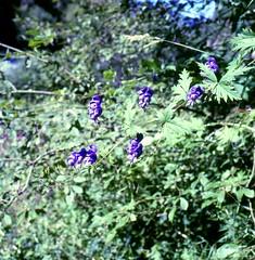 Aconitum degenii  GÁYER  subsp. paniculatum  (ARCANG.) MUCHER Rispiger Eisenhut branched monkshood (Spiranthes2013) Tags: aconitumdegeniigáyersubsppaniculatumarcangmucher rispigereisenhut branchedmonkshood aconitumpaniculatum monkshood aconitum eisenhut kfwolfstetter 6x6 6x6dias diaarchiv diascan scan plant pflanze pflanzendias plantae deutschland germany unterfranken lowerfranconia becker bayern bavaria berge mountains aconitumtauricum aconitumtauricumwulfen angiospermen angiosperms eudicots eudicosiden ranunculales ranunculaceae hahnenfusartige hahnenfusgewächse
