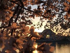 IMG_4031 (francesxcabrini) Tags: cherry blossoms cherryblossoms washingtondc flowers sunrise jeffersonmemorial washingtonmonument tidalbasin