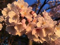 IMG_4037 (francesxcabrini) Tags: cherry blossoms cherryblossoms washingtondc flowers sunrise jeffersonmemorial washingtonmonument tidalbasin