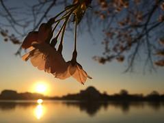 IMG_4067 (francesxcabrini) Tags: cherry blossoms cherryblossoms washingtondc flowers sunrise jeffersonmemorial washingtonmonument tidalbasin