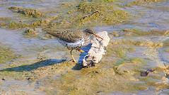 High Stepping (Kaptured by Kala) Tags: whiterocklake dallastexas shorebird aquaticbird aquatic waterfowl sandpiper upperspillway camouflage peeps spottedsandpiper foraging breedingseason breedingplumage breedingcolors closeup