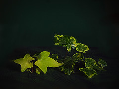 Green Harmony (Smiffy'37) Tags: crazytuesday lowkey leaves foliage ivy green tabletop nature